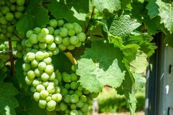 3 Wine on the vine