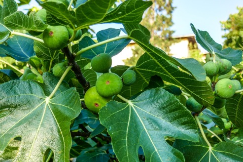 6 Waiting for the figs to ripen