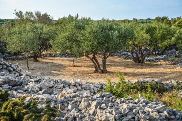 8 Olive orchard